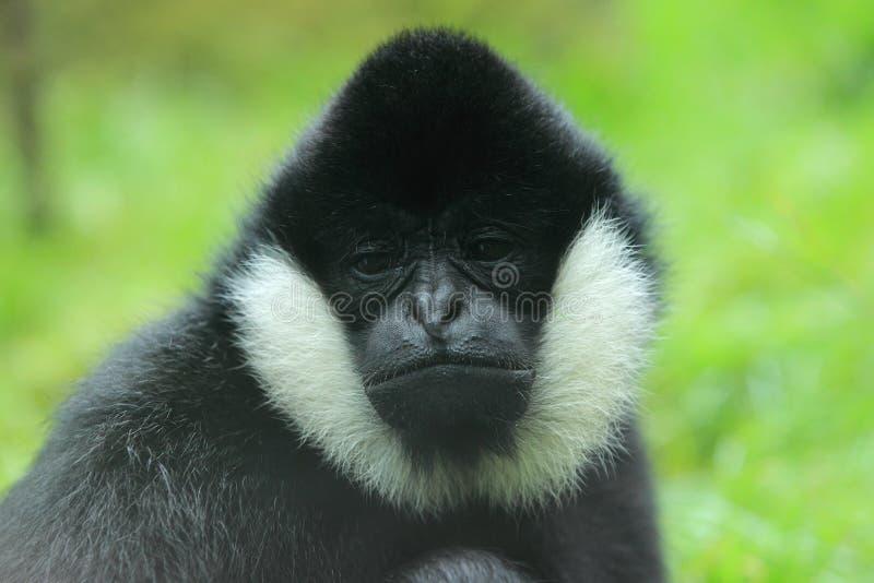 Gibbon branco-cheeked do norte fotos de stock