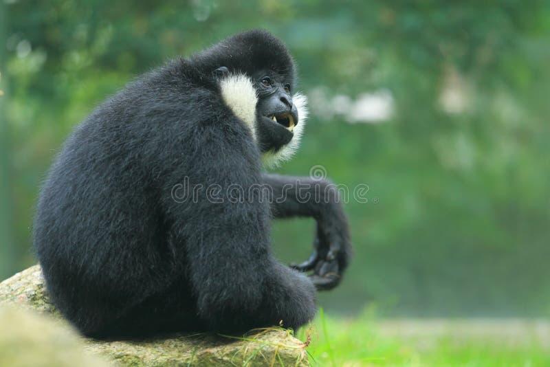 Gibbon branco-cheeked do norte fotografia de stock