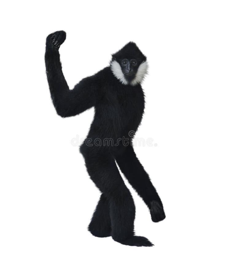 Gibbon Branco-Cheeked fotos de stock