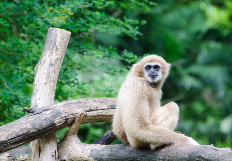 Gibbon branco de Cheeked foto de stock royalty free