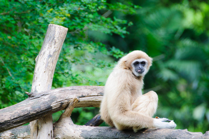 Gibbon branco de Cheeked imagem de stock royalty free