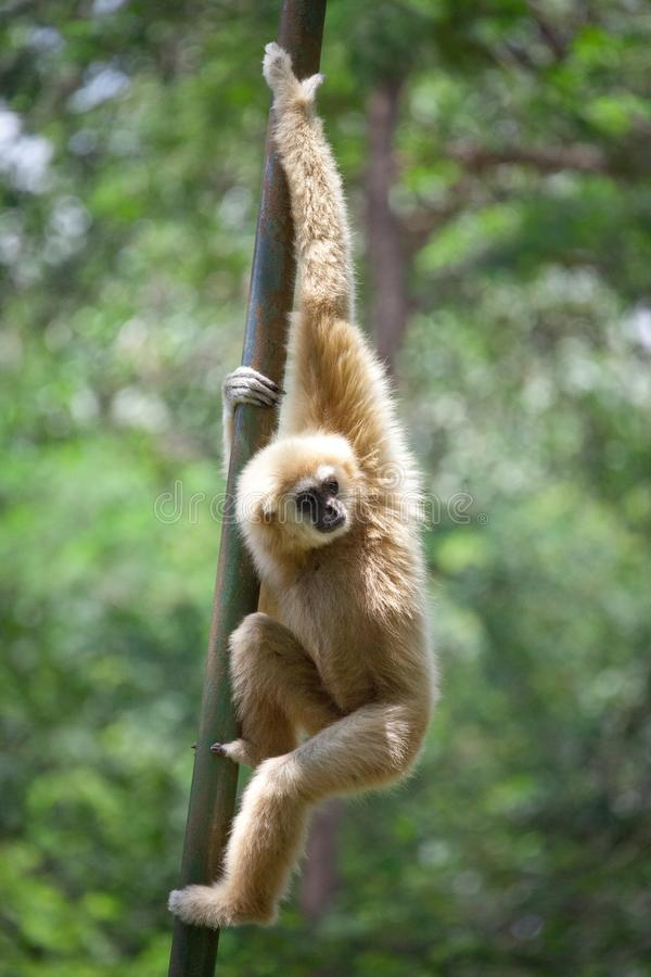 Gibbon branco de Cheeked ou Gibbon do Lar fotos de stock