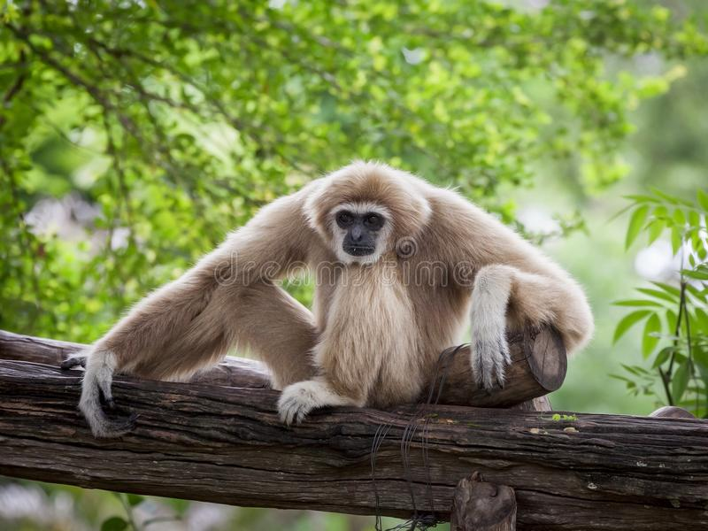 Gibbon branco de Cheeked ou Gibbon do Lar foto de stock