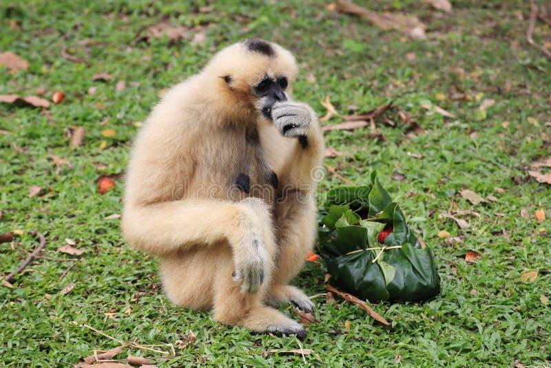 Gibbon branco de Cheeked ou Gibbon do Lar foto de stock