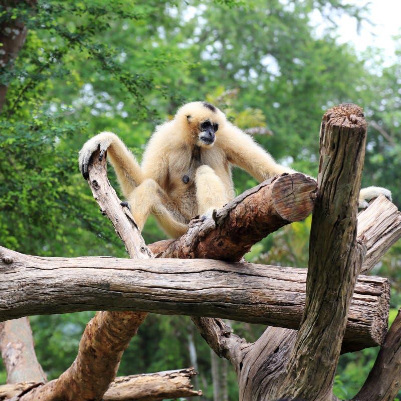 Gibbon branco de Cheeked ou Gibbon do Lar imagens de stock royalty free
