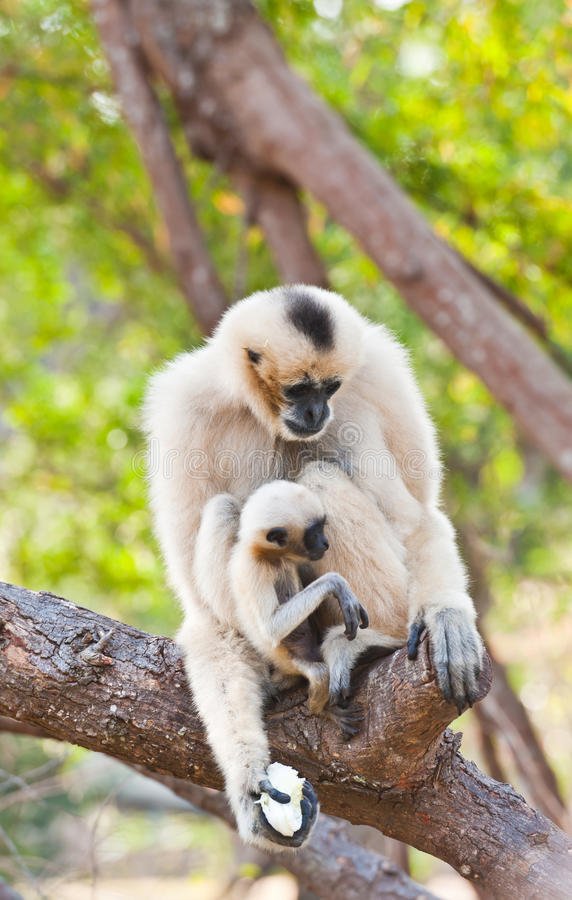 Gibbon branco de Cheeked ou Gibbon do Lar com família foto de stock