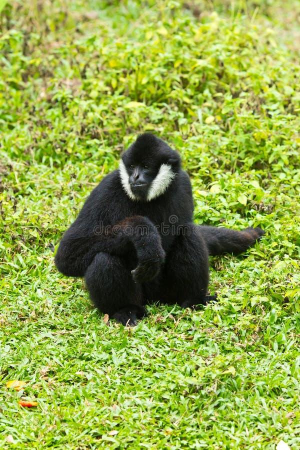 Gibbon branco do mordente foto de stock royalty free