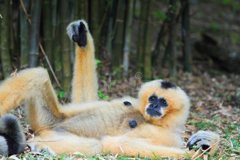 Gibbon branco do mordente fotografia de stock royalty free