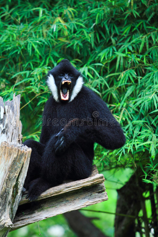 Gibbon branco do mordente imagens de stock royalty free