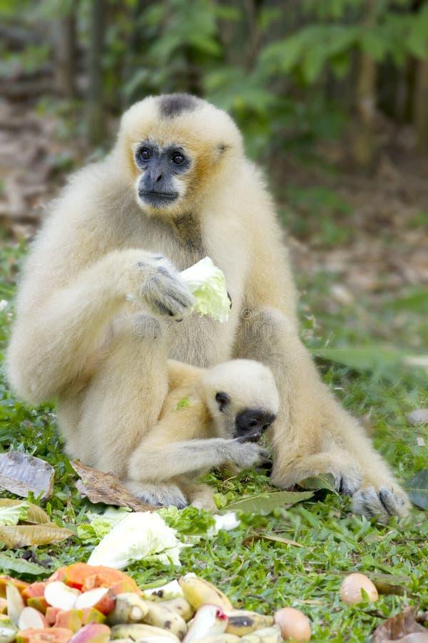 Gibbon branco e seu filho imagens de stock