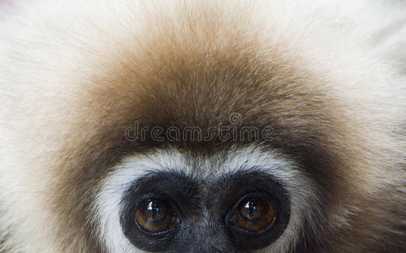 Gibbon Branco-entregue fotos de stock royalty free