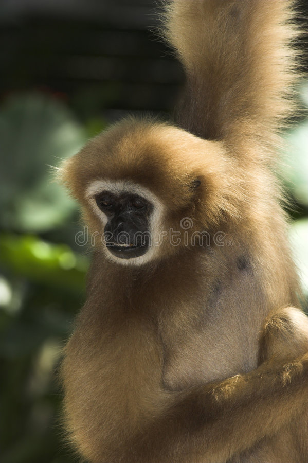 Gibbon Branco-entregue fotografia de stock
