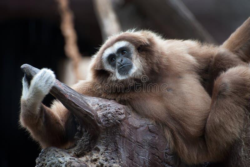 Gibbon Branco-entregue imagem de stock