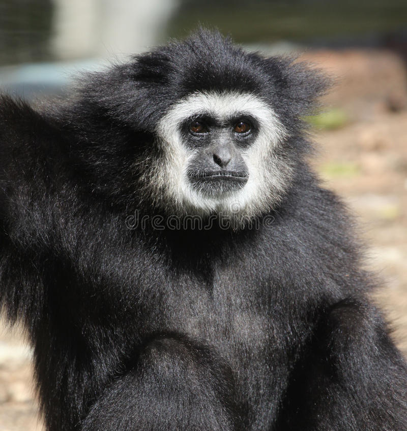 gibbon Branco-entregue foto de stock royalty free