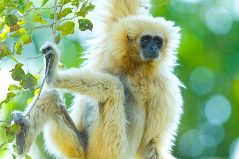 Gibbon Branco-entregue fotos de stock