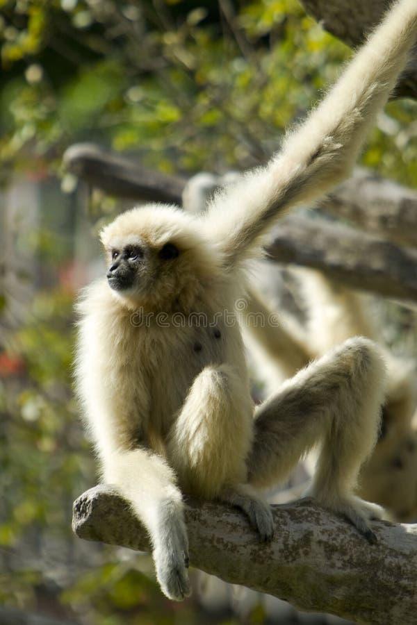 Gibbon Branco-entregue imagem de stock royalty free