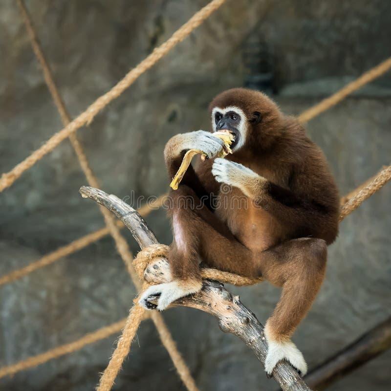 Gibbon Branco-entregue foto de stock