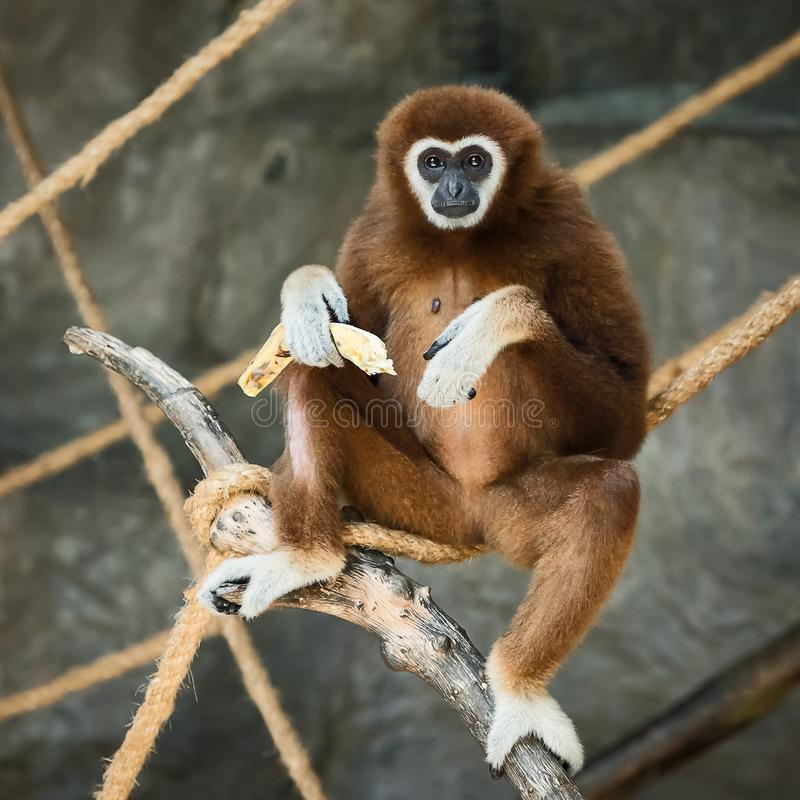 Gibbon Branco-entregue fotografia de stock
