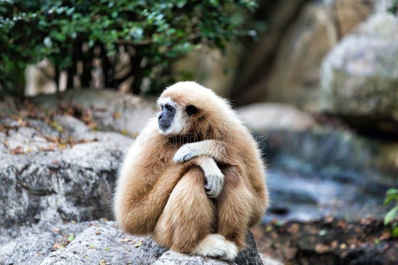 Gibbon Branco-entregue no jardim zoológico imagens de stock royalty free