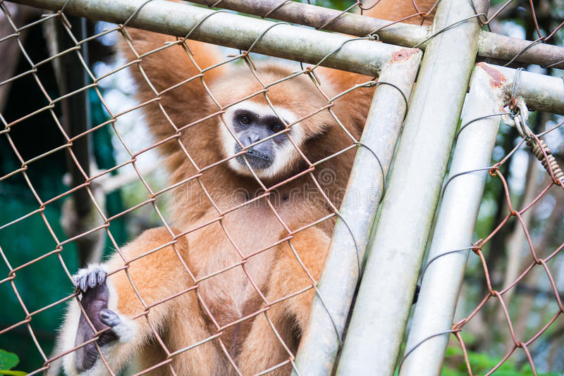 Gibbon catch the net in cage. Animal royalty free stock image