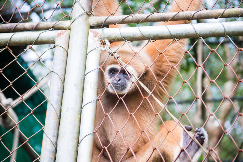 Gibbon catch the net in cage. Animal stock photo