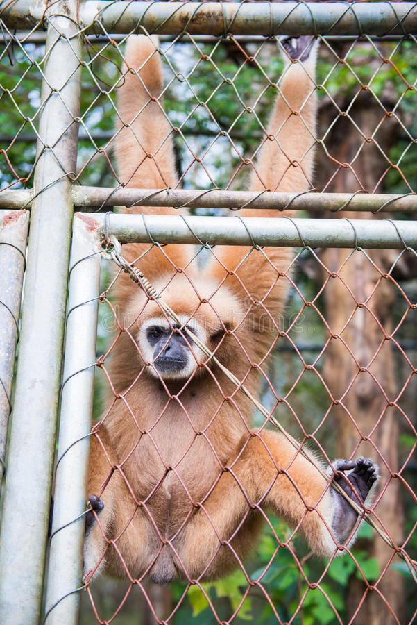 Gibbon catch the net in cage. Animal royalty free stock photography