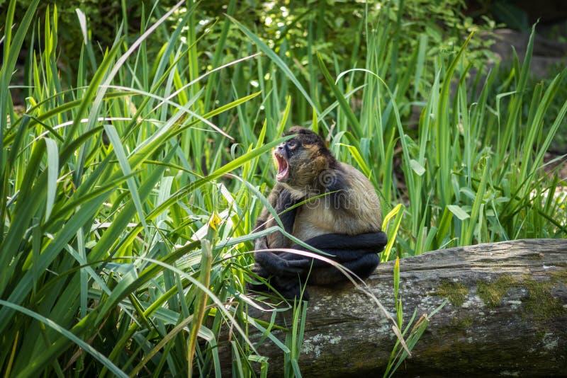 Gibbon che urla nell'erba fotografia stock