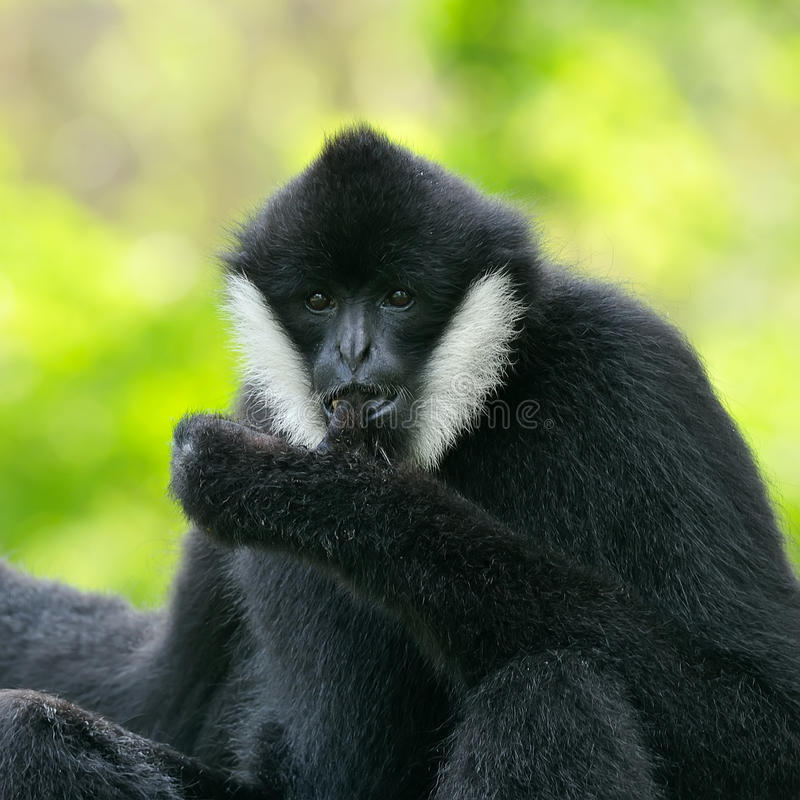 Gibbon cheeked blanc images libres de droits