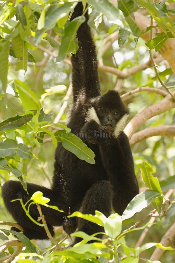 Gibbon cheeked branco foto de stock royalty free