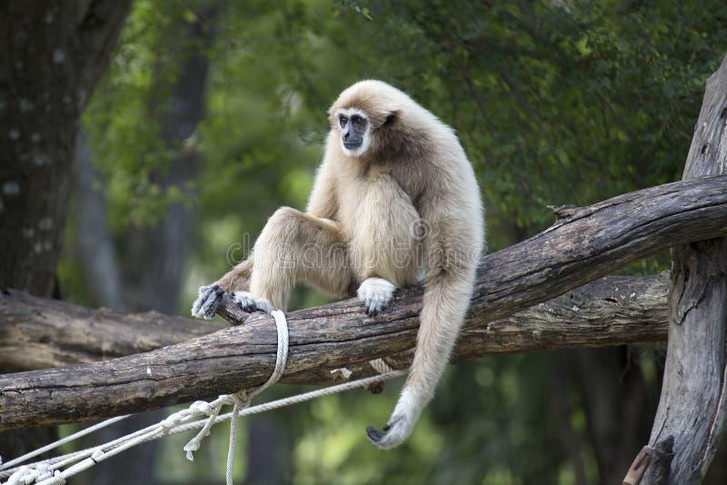 Gibbon cheeked branco imagens de stock