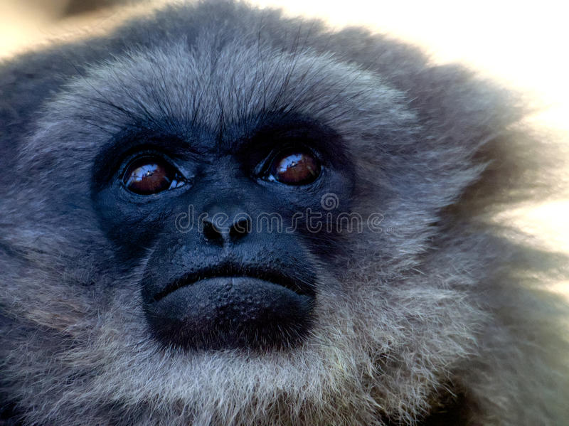 Gibbon. Closeup of a gibbon looking skyward stock photography