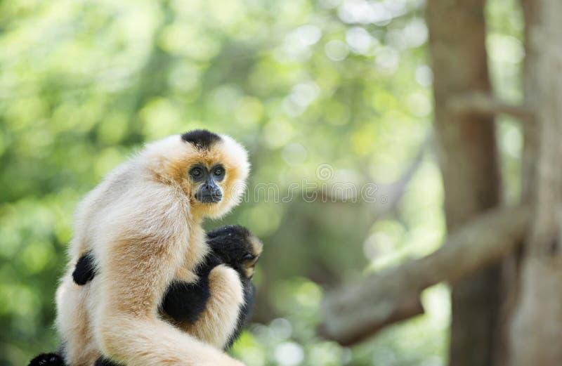 Gibbon com bebê fotos de stock