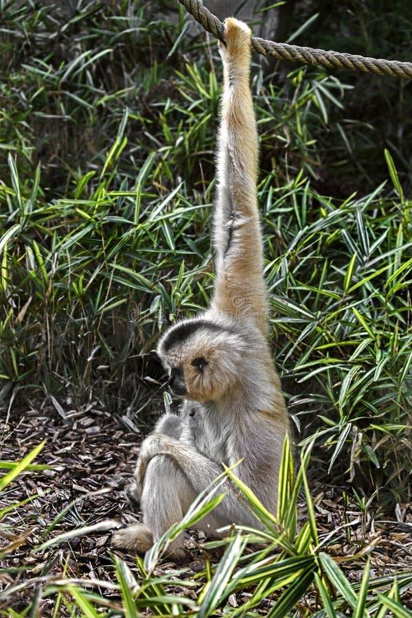 Gibbon czerwonoczelny 2 zdjęcia royalty free