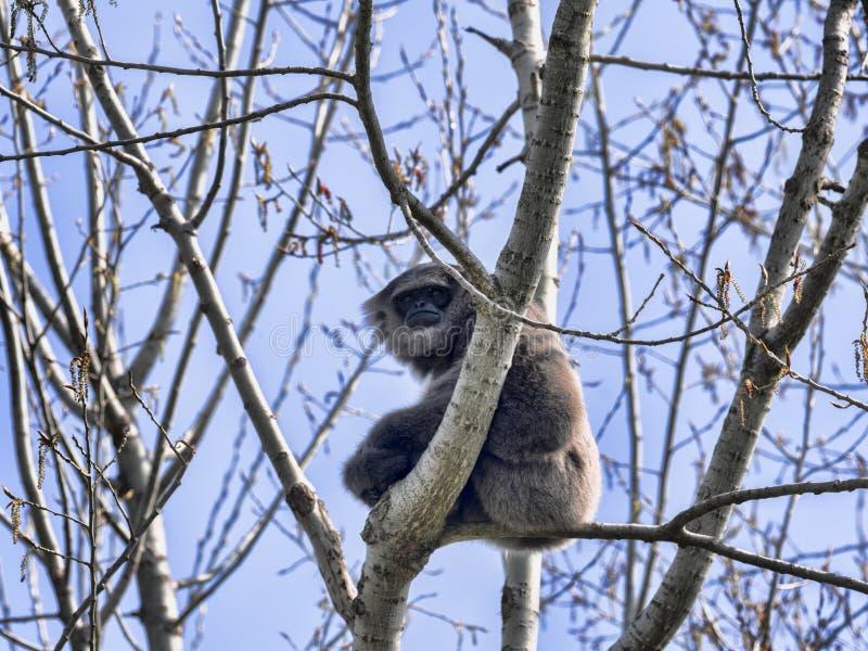 Gibbon d'argento raro maschio, moloch del Hylobates, sedentesi su un albero fotografia stock libera da diritti