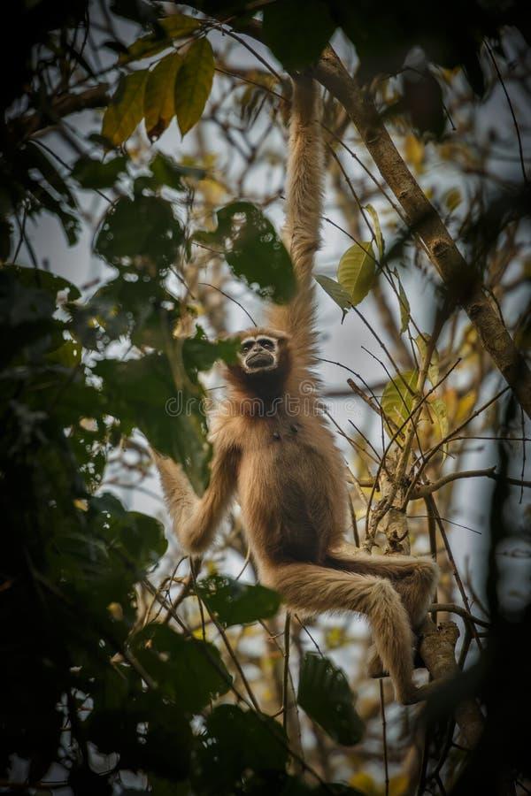 Gibbon de Hoolock haut sur un arbre dans l'habitat de nature photo stock