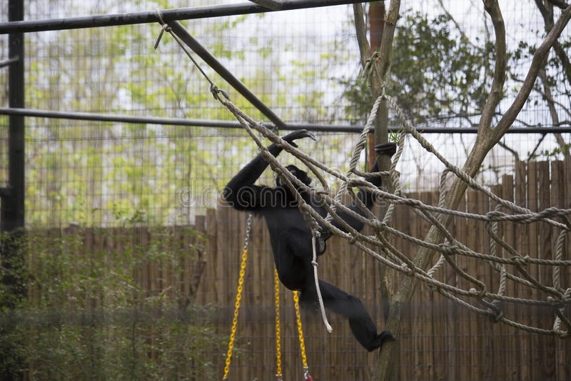 Gibbon de Siamang images stock