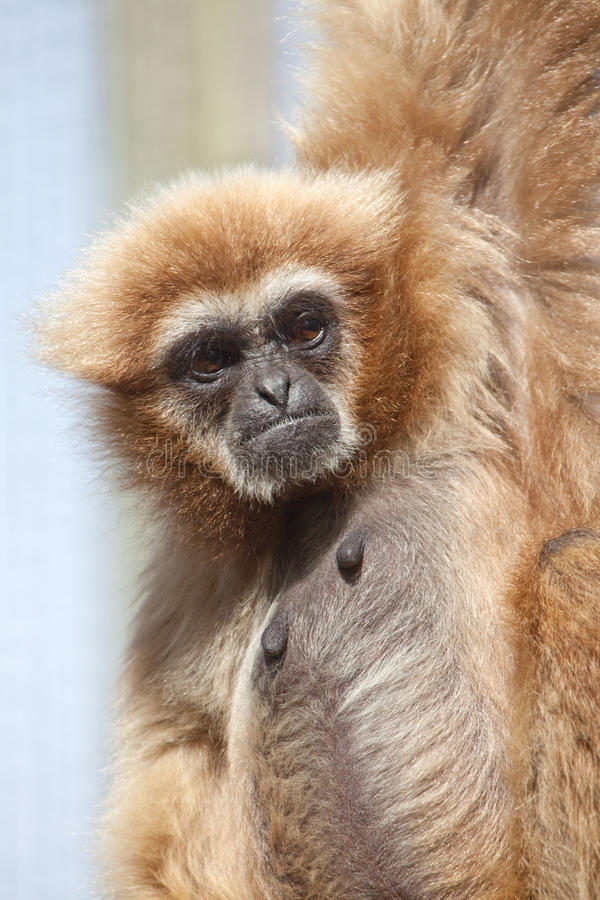 Gibbon do Lar fotografia de stock royalty free