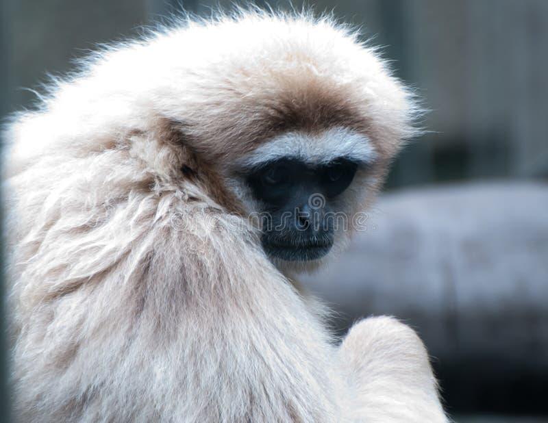 Gibbon do Lar foto de stock royalty free