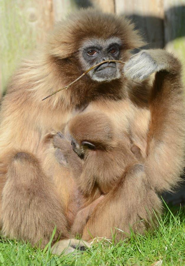 Gibbon do Lar com bebê foto de stock