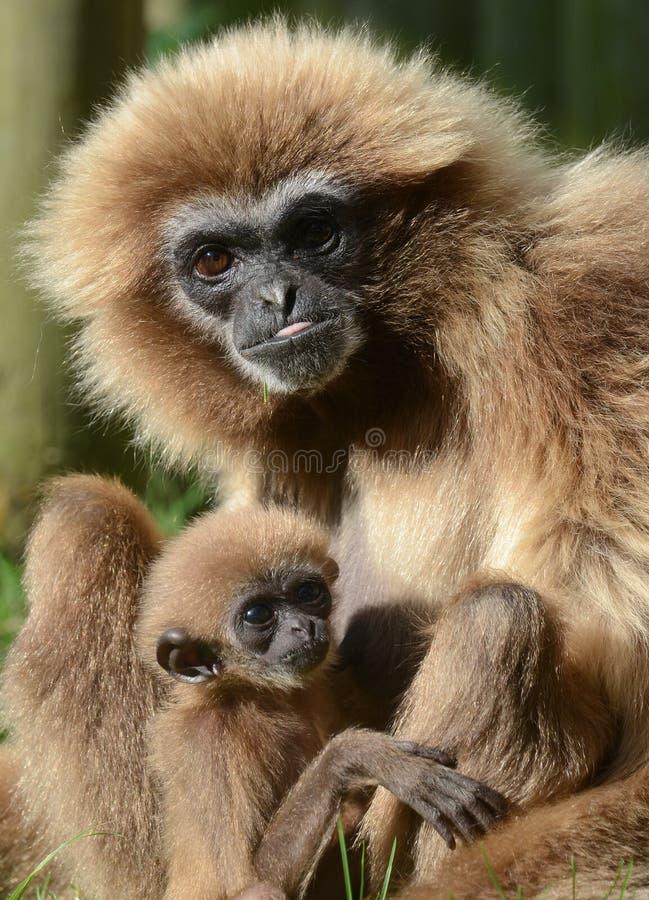 Gibbon do Lar com bebê fotos de stock royalty free