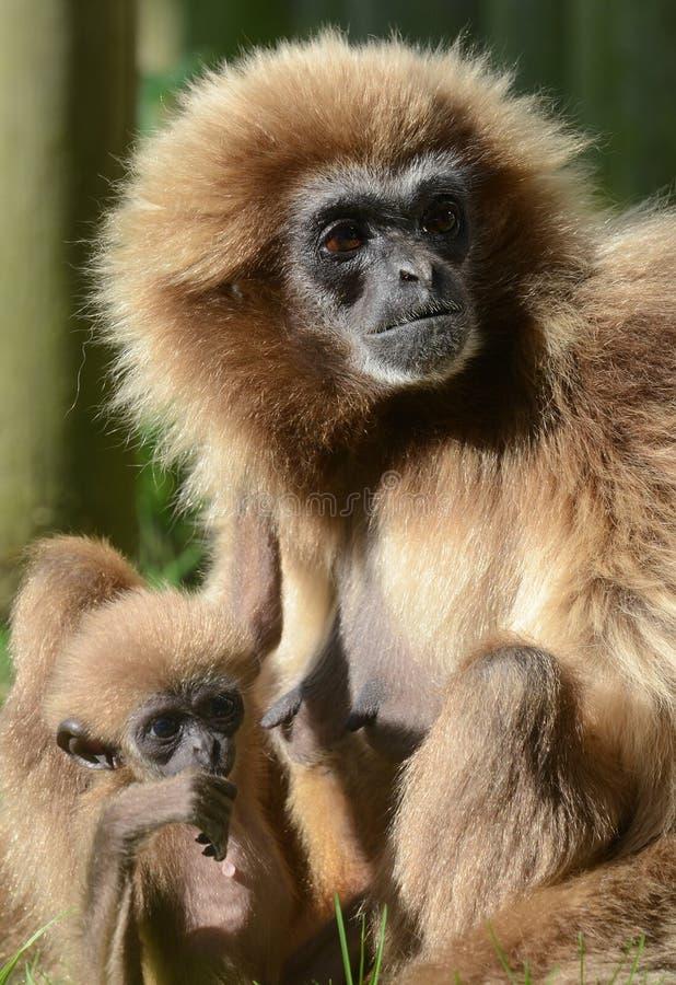 Gibbon do Lar com bebê fotografia de stock