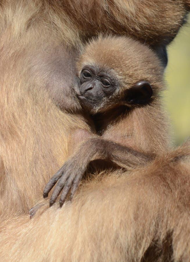 Gibbon do Lar do bebê imagem de stock royalty free