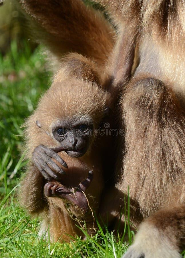 Gibbon do Lar do bebê fotos de stock royalty free