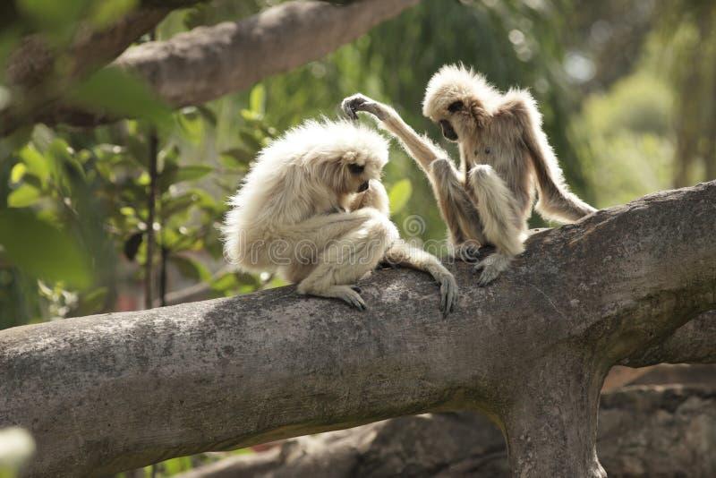 Gibbon entregue branco imagens de stock