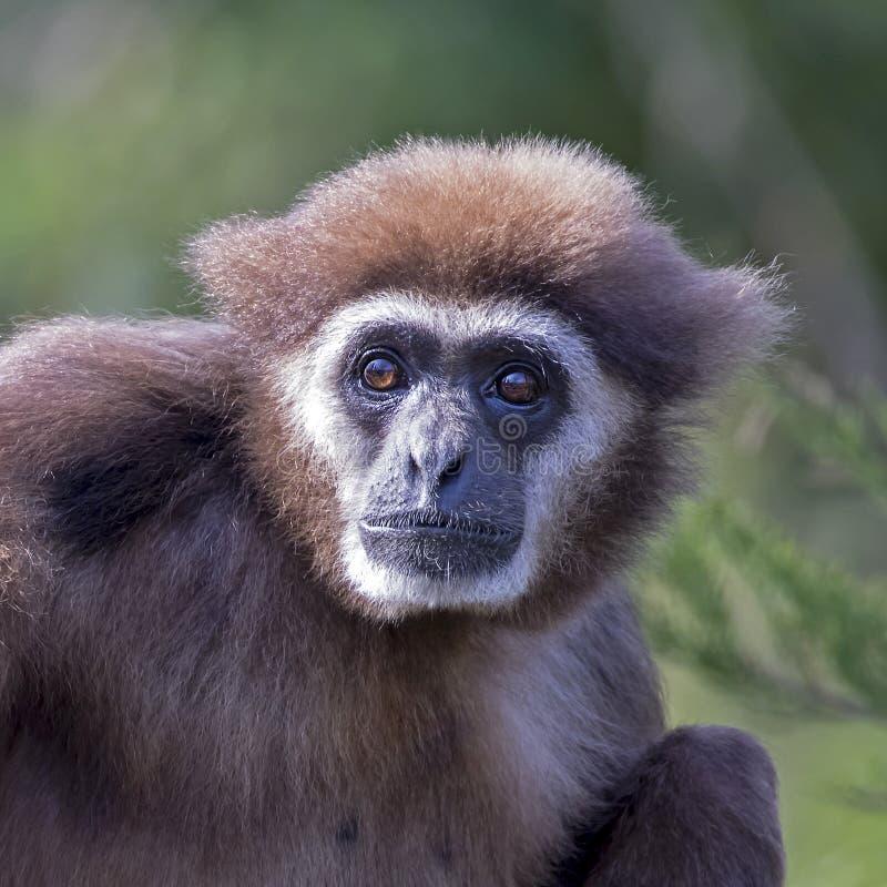 Gibbon entregue branco imagens de stock royalty free