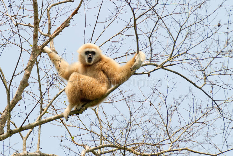 Gibbon entregue branco fotos de stock