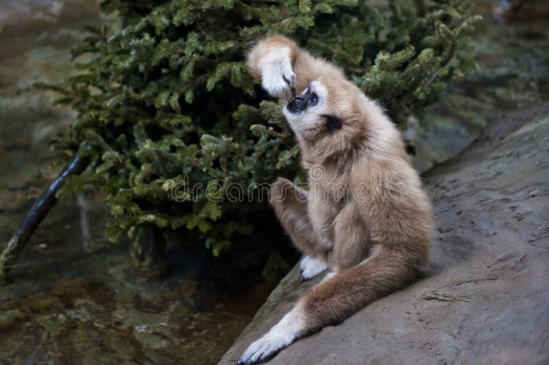 Gibbon entregue branco fotografia de stock