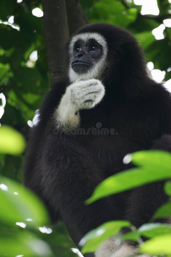 Gibbon entregue branco foto de stock