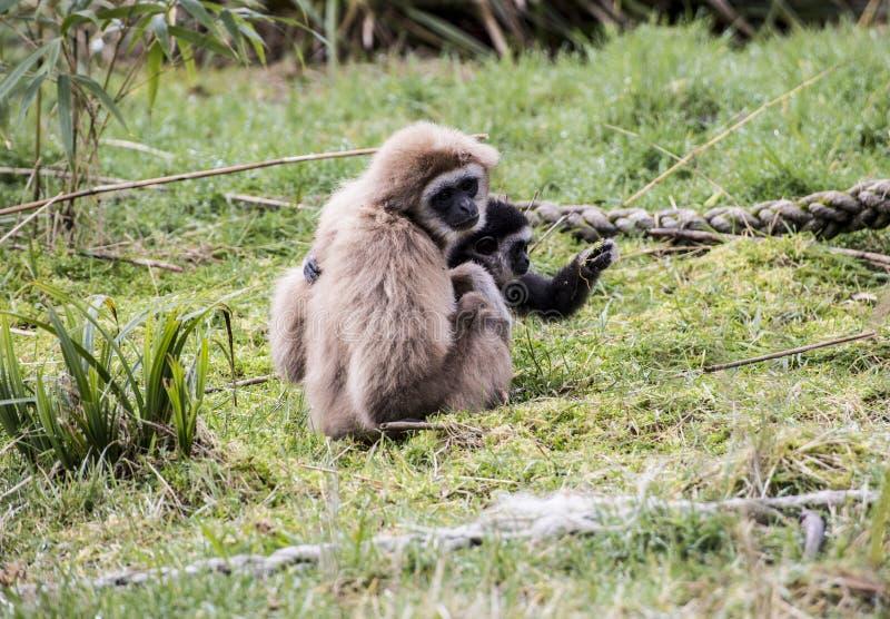 Gibbon entregue branco com seu bebê fotos de stock