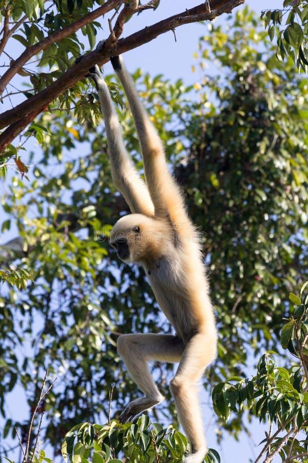 Gibbon entregue branco fêmea foto de stock